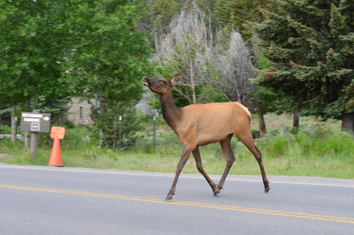 Also a different elk, but just as crazy